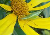 Oecanthus Common Tree Cricket species; female