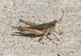 Orphulella speciosa; Slantfaced Pasture Grasshopper; male