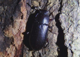 Neatus Darkling Beetle species