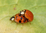 Harmonia axyridis; Multicolored Asian Lady Beetles; exotic