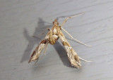 5108 - Lineodes interrupta; Crambid Snout Moth species