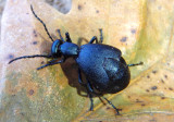 Meloe impressus; Oil Beetle species