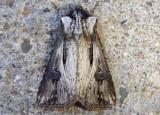 10651 - Agrotis venerabilis; Venerable Dart