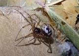Steatoda triangulosa; Cobweb Spider species