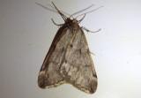6258 - Alsophila pometaria; Fall Cankerworm Moth