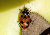 Hippodamia parenthesis; Parenthesis Lady Beetle