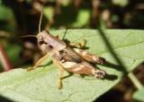 Aidemona azteca; Aztec Spur-throat; female nymph