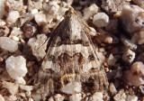 8614 - Bulia deducta; Noctuid Moth species