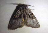 9188 - Charadra franclemonti; Owlet Moth species