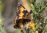 Chlosyne californica; California Patch