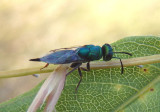 Epistenia Chalcid Wasp species