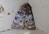 9597 - Hemibryomima chryselectra; Dart Moth species