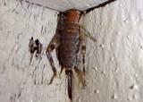 Hoplosphyrum boreale; Western Bush Cricket; female