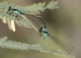 Ischnura damula; Plains Forktail pair
