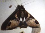 8599 - Melipotis fasciolaris; Fasciolated Melipotis; male
