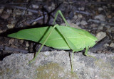 Microcentrum Angle-wing Katydid species