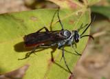 Xerochares expulsus; Spider Wasp species