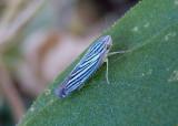 Sibovia compta; Leafhopper species