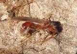 Sphaeropthalminae Nocturnal Velvet Ant species; male