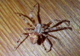 Araneus gemmoides; Cat-Faced Spider; male