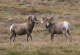 Bighorn Sheep; dueling rams
