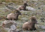 Bighorn Sheep; rams