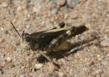 Arphia conspersa; Speckle-winged Rangeland Grasshopper; male