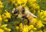 Bombus huntii; Bumble Bee species; male