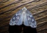 8094 - Bruceia pulverina; Lichen Moth species