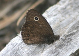 Cercyonis oetus; Small Wood Nymph