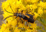 Chauliognathus deceptus; Soldier Beetle species