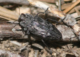 Chrysobothris trinervia; Metallic Wood-boring Beetle species