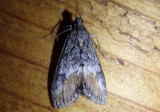 4910 - Evergestis subterminalis; Crambid Snout Moth species.