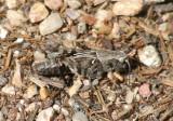 Camnula pellucida; Clear-winged Grasshopper; female nymph