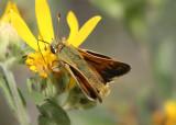 Hesperia comma; Common Branded Skipper; male