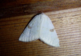 6431 - Hesperumia sulphuraria; Sulphur Moth
