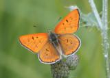 Lycaena rubida; Ruddy Copper; male