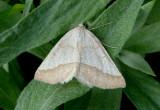 6857 - Lychnosea helveolaria; Geometrid Moth species; male