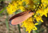 8083 - Lycomorpha grotei; Lichen Moth species