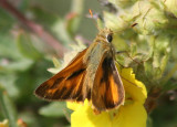 Ochlodes sylvanoides; Woodland Skipper; male