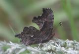 Polygonia gracilis zephyrus; Zephyr Anglewing