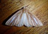 7000 - Sabulodes niveostriata; Geometrid Moth species