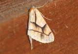 6875 - Snowia montanaria; Geometrid Moth species