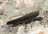 Trimerotropis verruculata; Crackling Forest Grasshopper; male