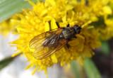 Anthomyiidae Root-Maggot Fly species