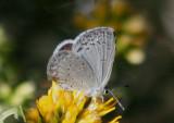 Celastrina echo; Echo Azure; female