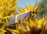 8070 - Cisthene angelus; Angel Lichen Moth