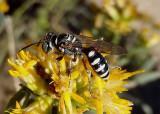 Clypeadon Apoid Wasp species
