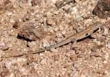 Common Side-blotched Lizard; male