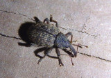 Conotrachelus lucanus/integer complex; Weevil species